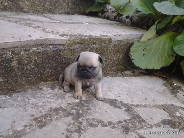 Chiots Types Carlin A Donner A Vendre A Annemasse Loisirs Animaux