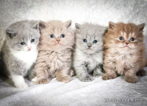 Superbes Chatons British Shorthair Pure Race Loof A Vendre A Nantes Loisirs Animaux