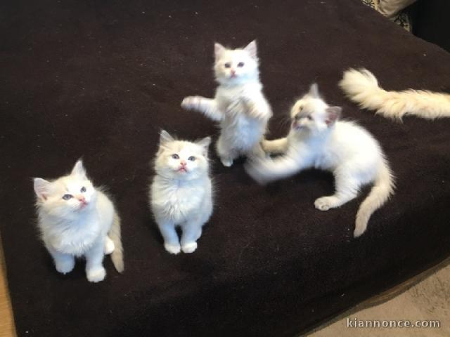 Chatons Ragdoll disponible de suite