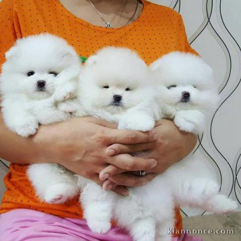 Chiots Type spitz nain pour famille
