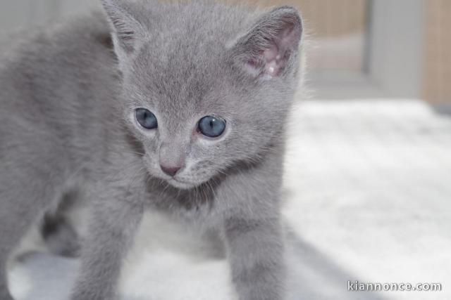 Chatons Type Bleu Russe Disonible A Donner A Vendre A Roubaix Loisirs Animaux