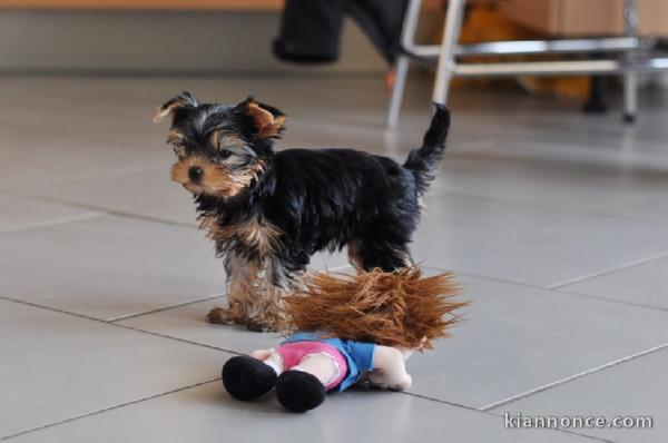Chiots yorkshire terrier disponible pour adoption
