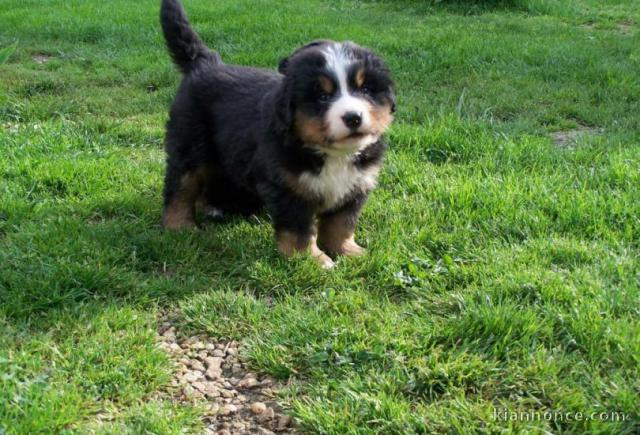 Chiots Bouviers Bernois A Donner A Vendre A Lille Loisirs Animaux