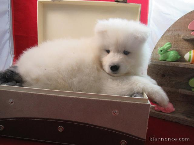 Chiot Femelle Samoyede A Donner A Vendre A Caen Loisirs Animaux