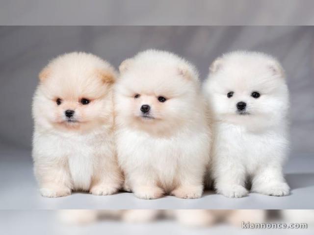 Disponible Magnifique Spitz Pomeranian Nain A Vendre A Deshaies Loisirs Animaux