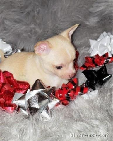 Chiots Chihuahua A Donner A Vendre A Rennes Loisirs Animaux