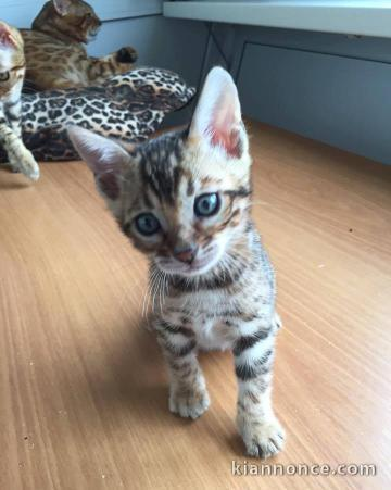 Chaton Bengal A Donner A Vendre A Giromagny Loisirs Animaux