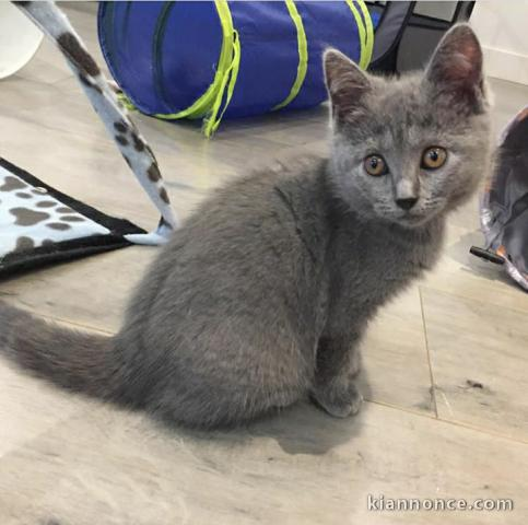 Deux Chatons Chartreux A Adopter A Vendre A Saint Avold Loisirs Animaux