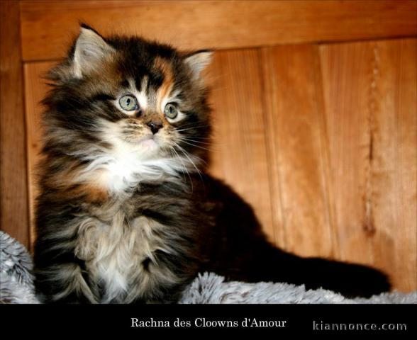 Splendide Chatons Maine Coon A Donner Male Te Femelle A Vendre A Strasbourg Loisirs Animaux