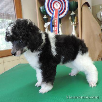 Chiots Caniche A Donner A Vendre A Versailles Loisirs Animaux